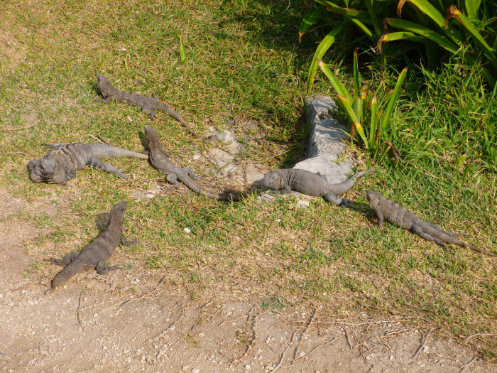 You knew there would be an iguana photo