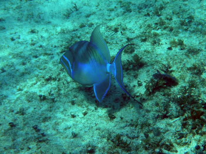 A queen triggerfish