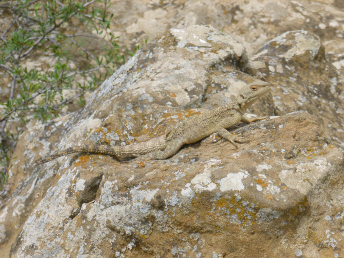 One of the many lizards seen in the area. Most were large-ish, about 8 inches long.