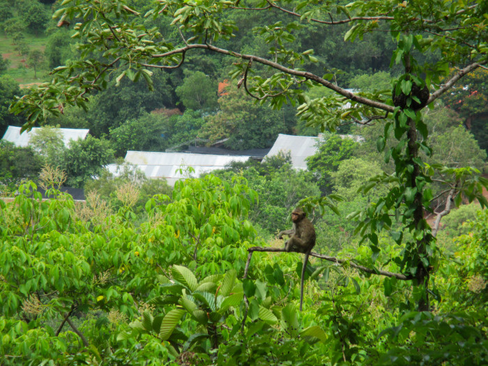 A monkey at Udong. Seeing monkeys in the wild will never get old for me.