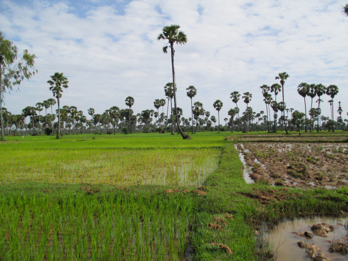 Typical Cambodian countryside. Very green rice paddies and very tall sugar palms
