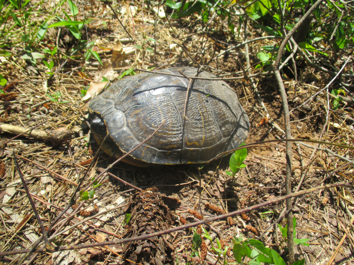 Hey, a turtle in the middle of the trail!