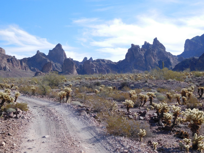 Lots of cholla and the Kofa Mountains